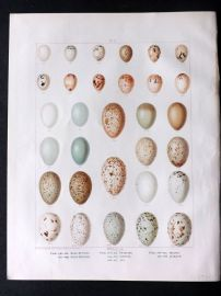 Frohawk 1898 Antique Bird Egg Print. Bunting, Starling, Magpie, Jackdaw, Chough, Jay